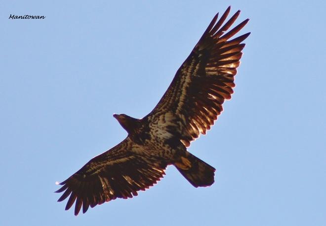 Eagles Sun Tipped Beak Delta, British Columbia Canada