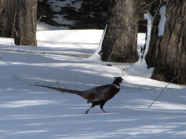 Beautiful Pheasant Red Deer, Alberta Canada
