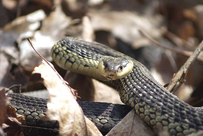 garter snake London, Ontario Canada