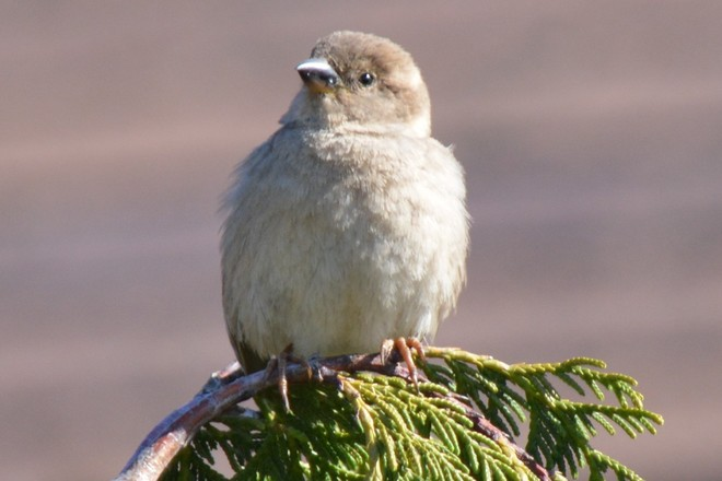 Little Sparrow! St. Catharines, Ontario Canada