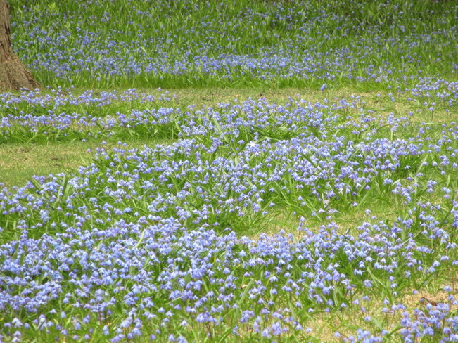 Lawn carpetted with blue bells (Hyacinthaceae) Westmount, Quebec Canada