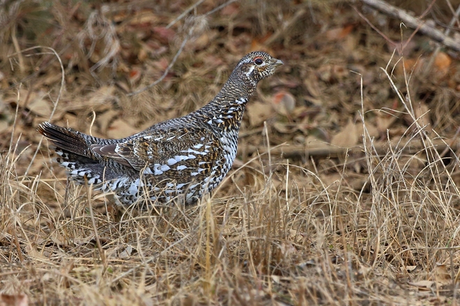 Spruce Grouse Zama City, Alberta Canada