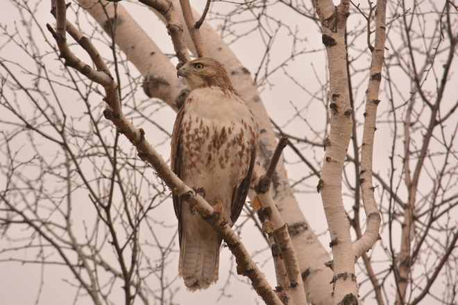 Young red tailed hawk in birch Ottawa, Ontario Canada
