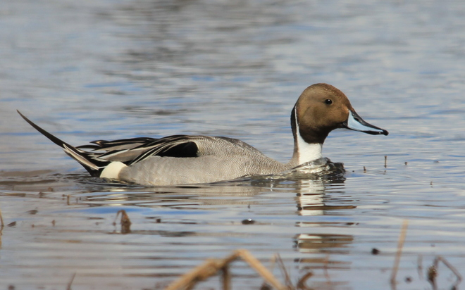 Northern Pintail Fergus, Ontario Canada