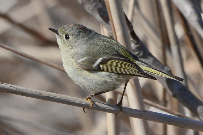 Ruby-Crowned Kinglet Sauble Beach, Ontario Canada