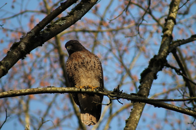 Falcon perched on a tree branch Vancouver, British Columbia Canada
