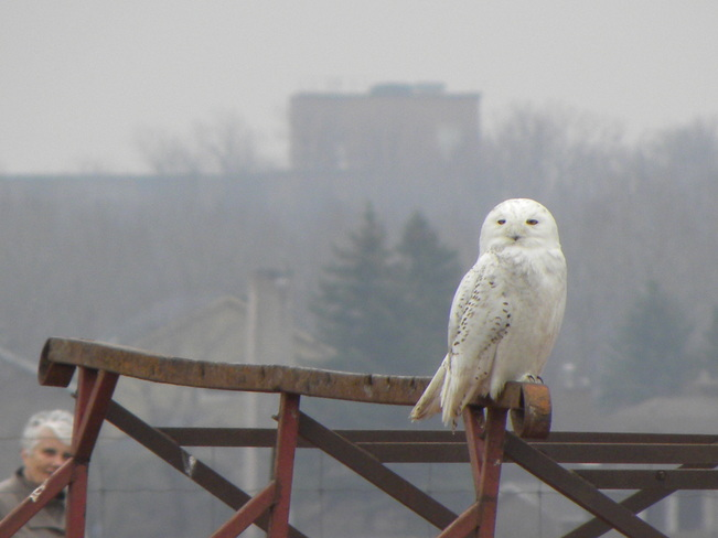 Male Snowy Owl and Onlooker Ottawa, Ontario Canada