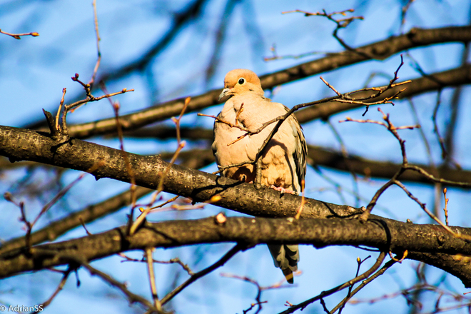 Dove Kitchener, Ontario Canada