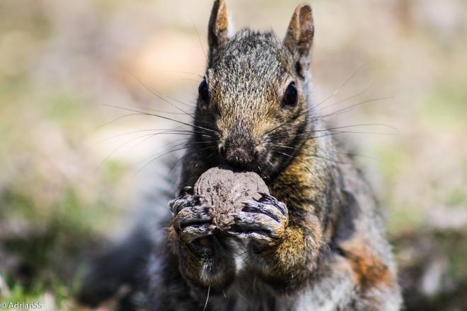 squirrel Kitchener, Ontario Canada