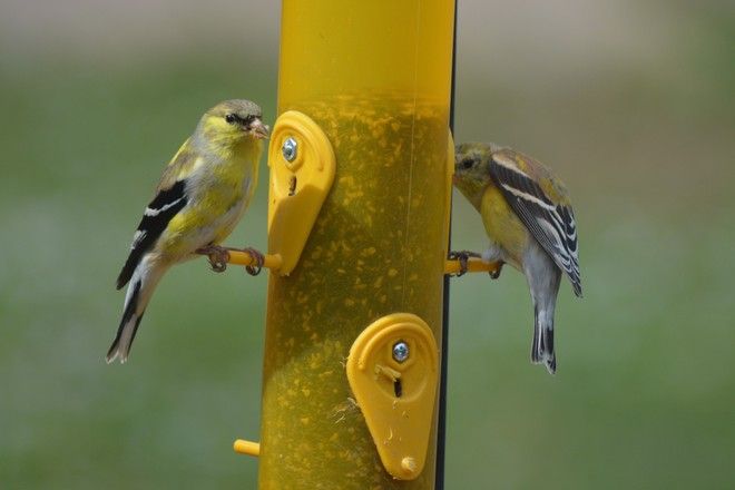 American Goldfinches! St. Catharines, Ontario Canada