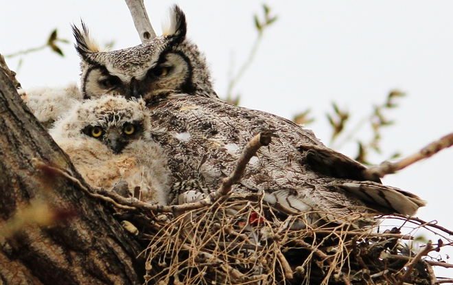 momma with her owlet Brooks, Alberta Canada