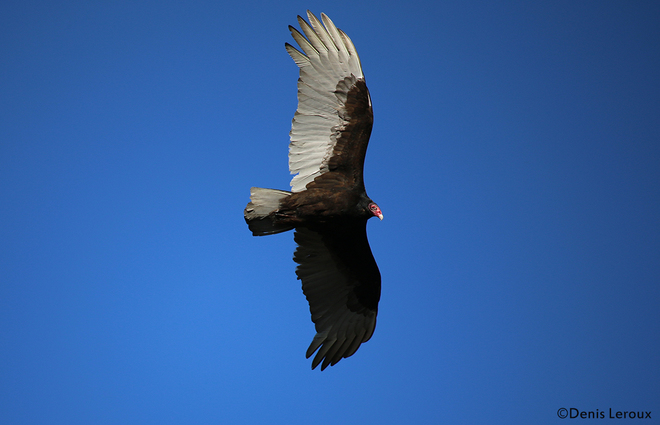 Turkey Vulture 2 Maberly, Ontario Canada