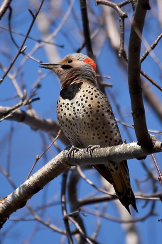 Northern Flicker Whitby, Ontario Canada