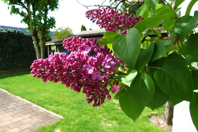 Beautiful weather brings out the Lilacs! Abbotsford, British Columbia Canada