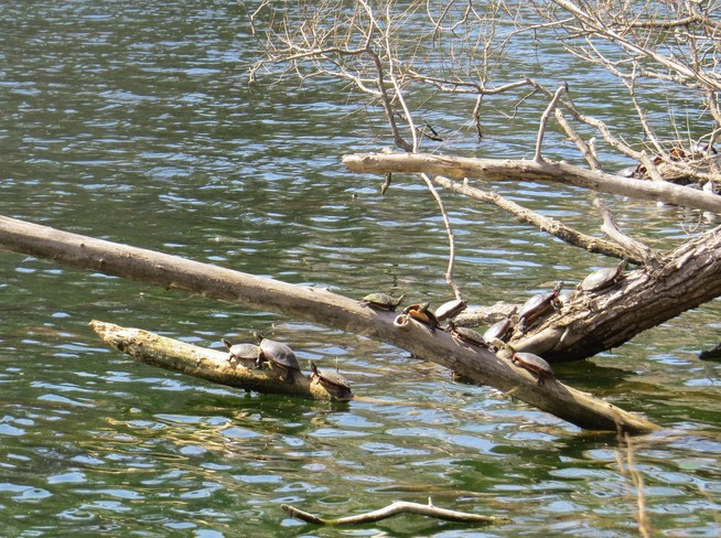 More Turtles basking in the warm April sun Dorchester, Ontario Canada