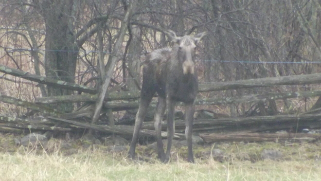moose out in the rain Peterborough, Ontario Canada