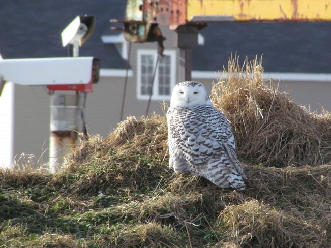 Snowy Owl Pasadena, Newfoundland and Labrador Canada