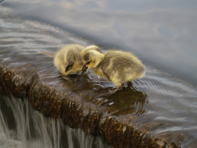 Two day old goslings Chilliwack, British Columbia Canada