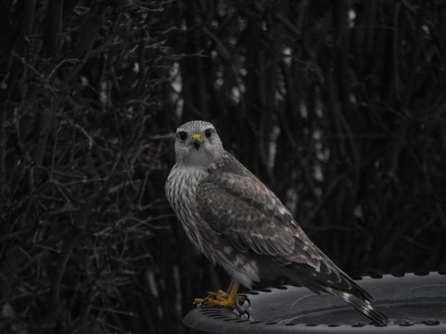 Beautiful Hawk Calgary, Alberta Canada