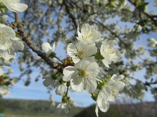 May blossoms Vernon, British Columbia Canada