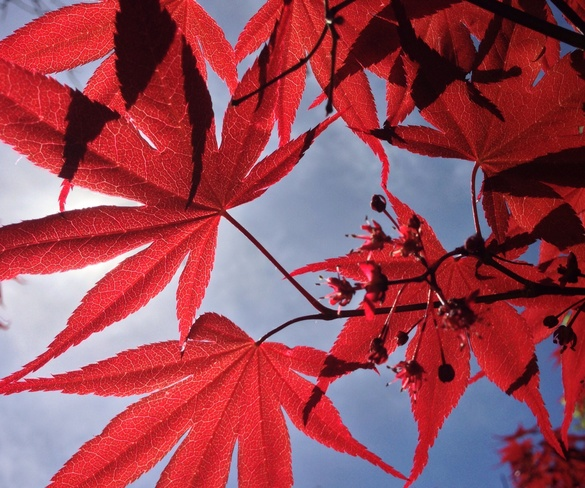 Red Maple Leaves in Sunlight North Vancouver, British Columbia Canada