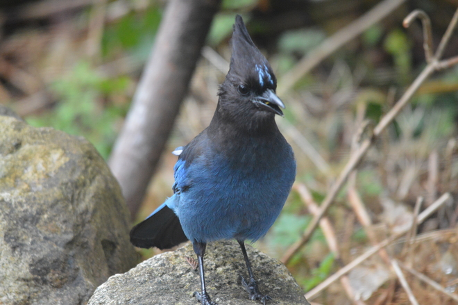 Steller's Jay North Vancouver, British Columbia Canada