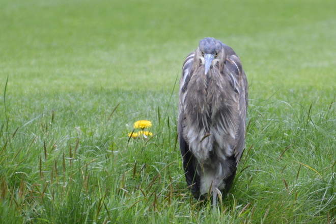 Heron In The Grass North Vancouver, British Columbia Canada