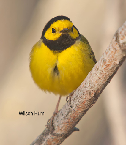 Male Hooded Warbler at Terry Carisse park in Ottawa Ottawa, Ontario Canada