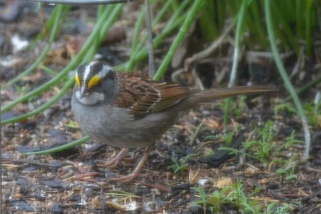 White throat Sparrow! St. Catharines, Ontario Canada