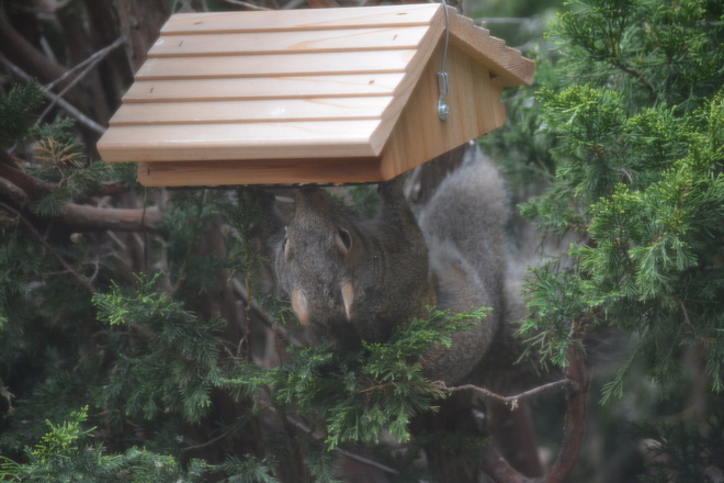 Upside down gray squirrel! St. Catharines, Ontario Canada