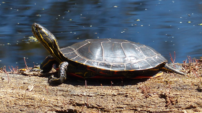 turtles love the sun Grand Forks, British Columbia Canada