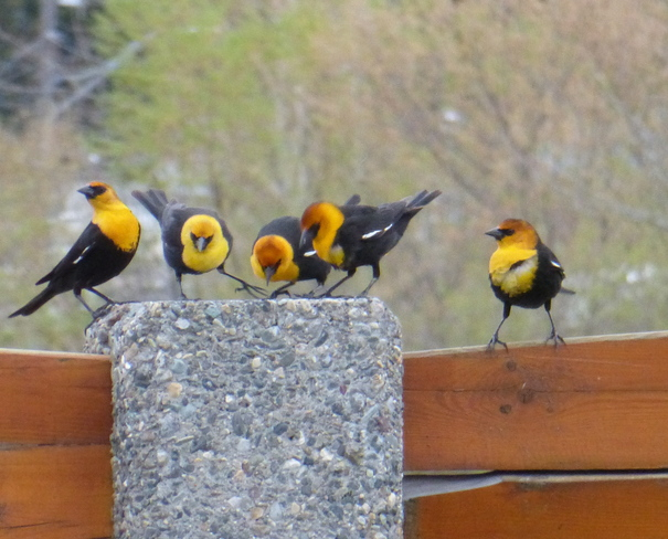 THE YELLOW-HEADED QUINTET!!!!! Cranbrook, British Columbia Canada