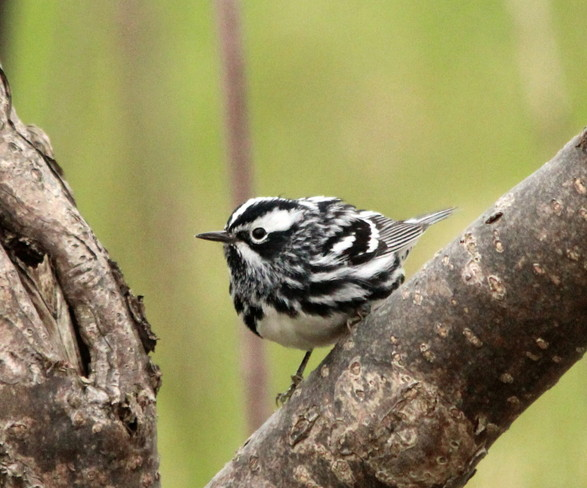 Black & White Warbler Downsview, Ontario Canada