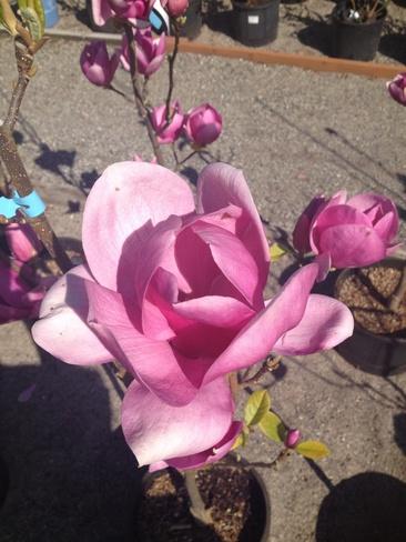 Magnificent Magnolia Trepanier, British Columbia Canada