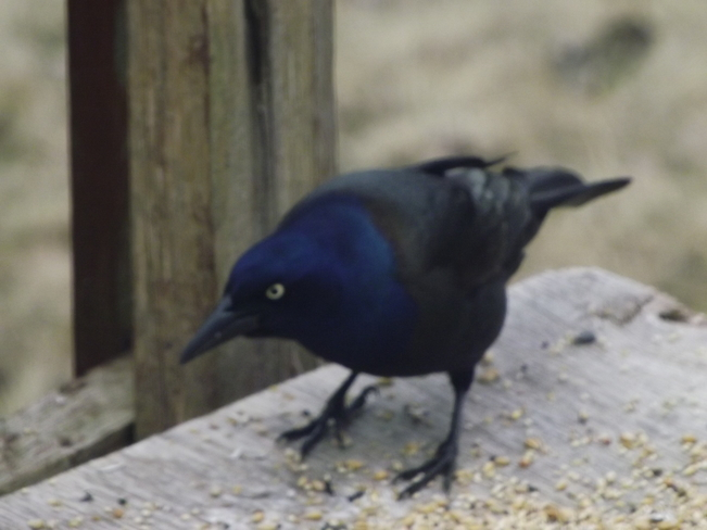 """Pecular Blackbird - Anyone know this breed"