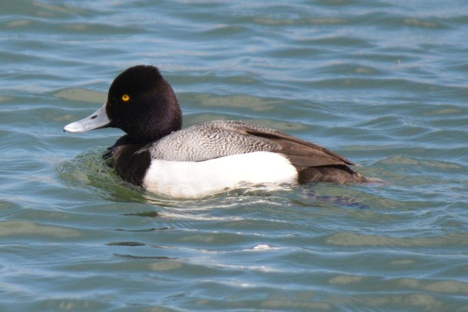 Male Lesser Scaup! St. Catharines, Ontario Canada