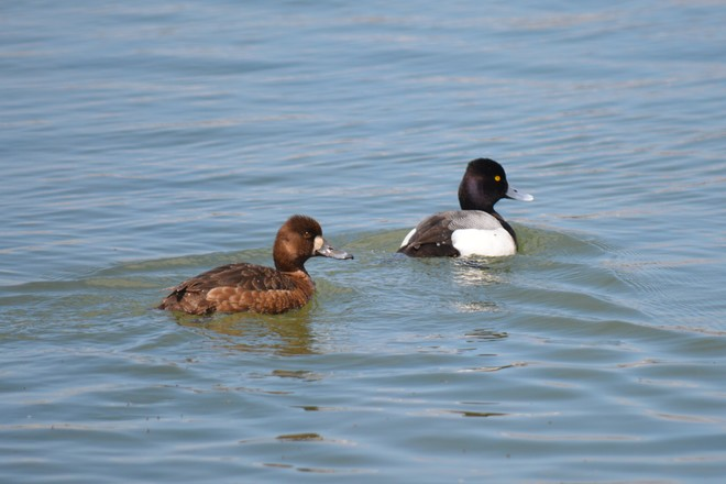Lesser Scaup Couple! St. Catharines, Ontario Canada