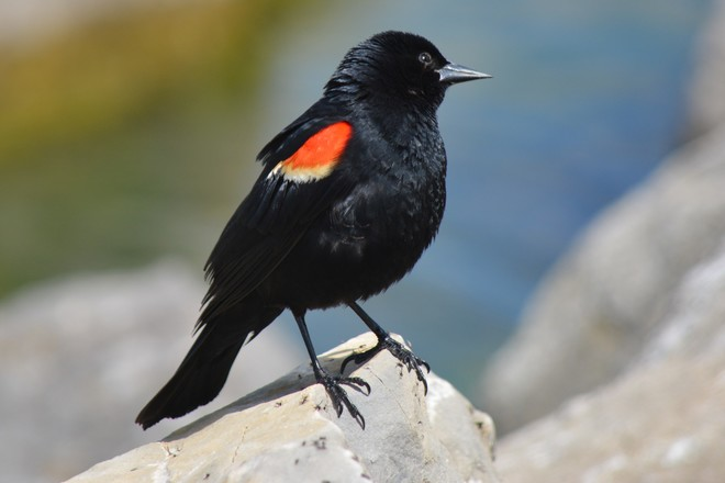 Male Red Winged Blackbird! St. Catharines, Ontario Canada