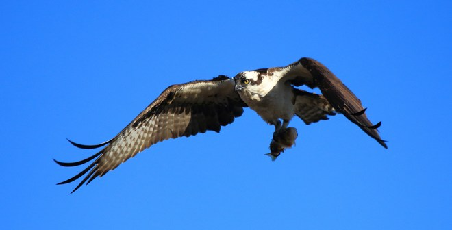 osprey fishing Sault Ste. Marie, Ontario Canada
