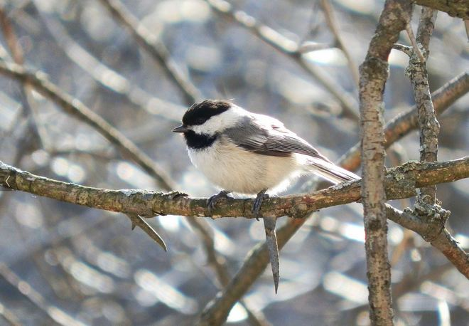 Black-Capped Chickadee Mississauga, Ontario Canada