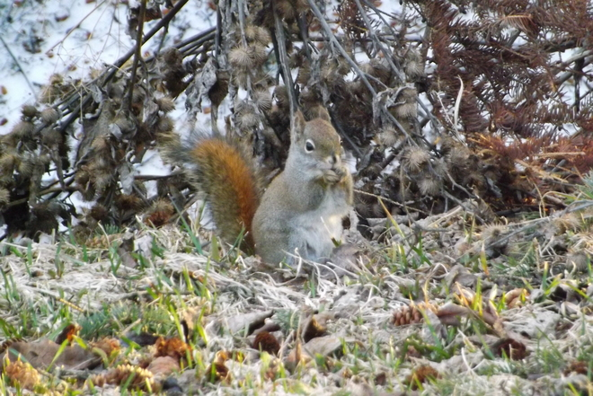 RED SQUIRREL Thunder Bay, Ontario Canada