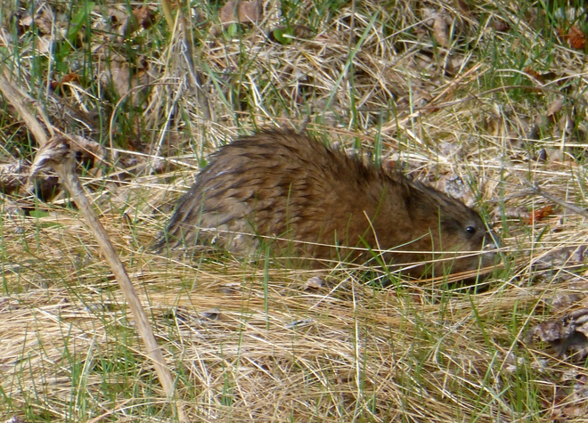 MUNCHING MUSKRAT ON THE MOVE! Cranbrook, British Columbia Canada