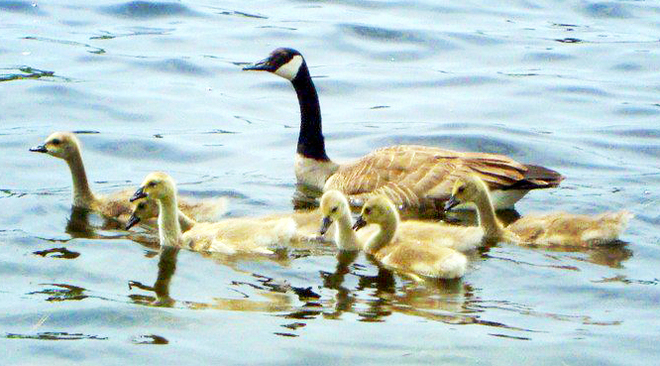 Geese and her babies Belleville, Ontario Canada