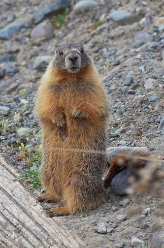 ground hog Merritt, British Columbia Canada