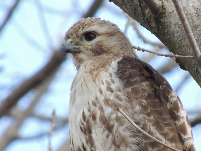 Red tailed Hawk II Pickering, Ontario Canada