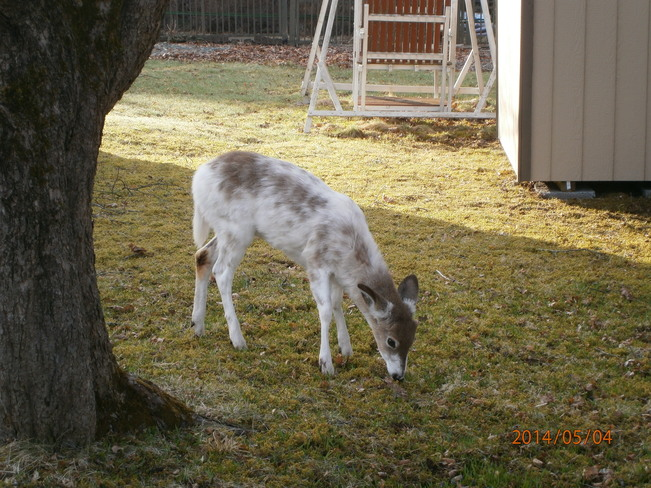 White deer Quispamsis, New Brunswick Canada