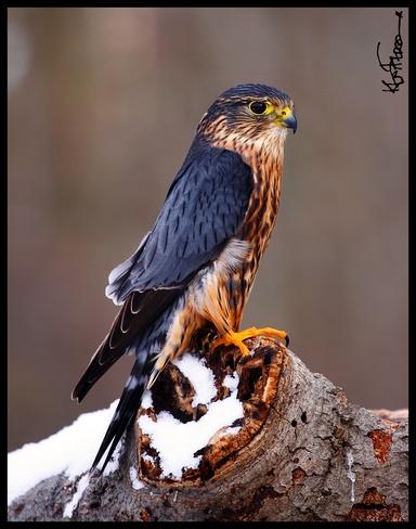 Merlin Falcon Guelph, Ontario Canada