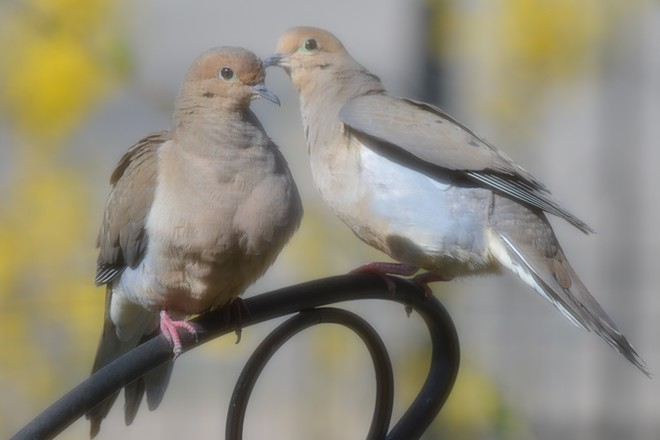 Doves! St. Catharines, Ontario Canada