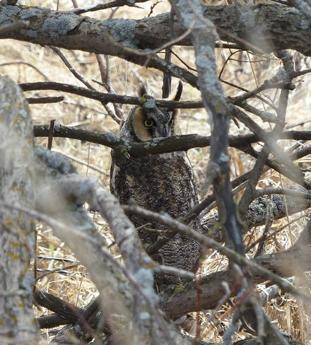 Long-eared Owl Kindersley, Saskatchewan Canada