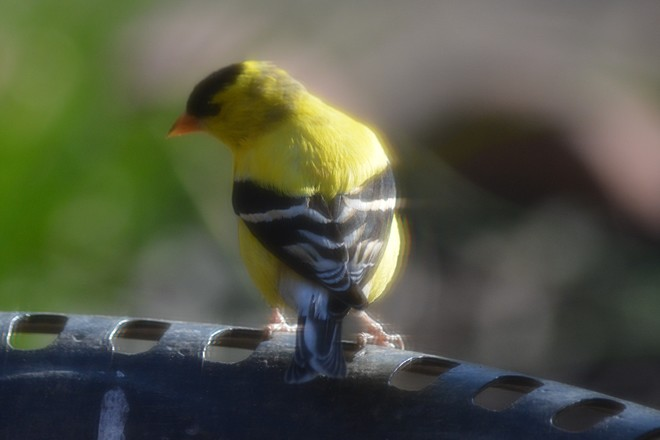Goldfinch! St. Catharines, Ontario Canada